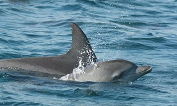 Dolphin Populations
