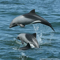 Dolphin Ecology