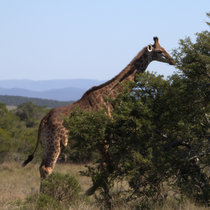 Giraffe Behavioural Study
