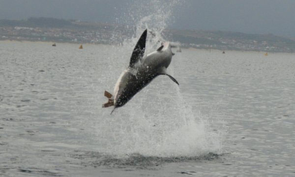 South Africa's White Shark Research Group