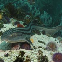 Benthic shark ecology