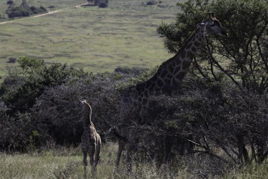 Giraffe Behavioural Study