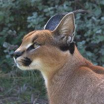 Elusive Mammal Population Ecology