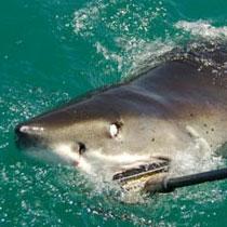Great white shark bite strength