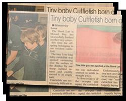 Tiny baby Cuttlefish born at Shark Lab