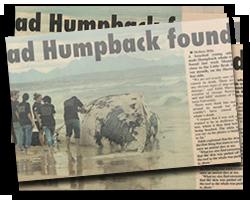 Dead Humpback Found