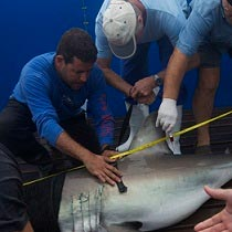 Satellite tracking of white sharks