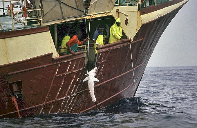 Where are Air Jaws? And what is happening to the White Shark Capital of the World?