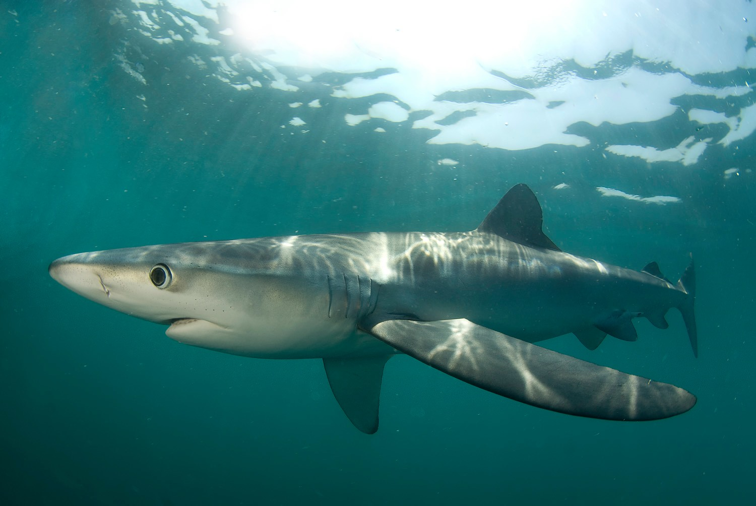 New Research Concludes Worrying News for Sharks