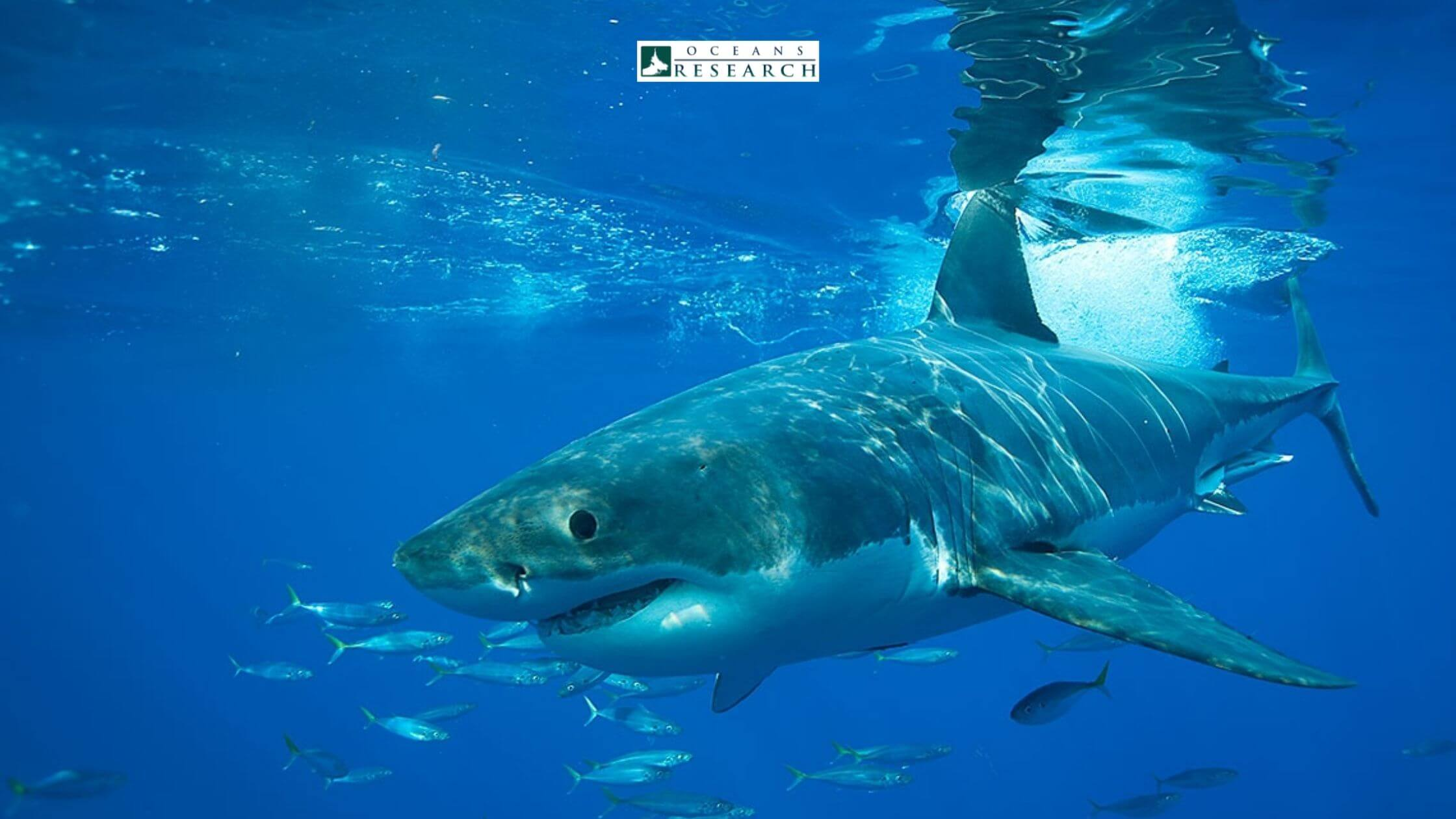 Why do We Need Sharks for Our Ecosystem?